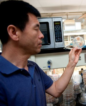 MSU AgBioResearch's Jianjun Hao examines an agar plate