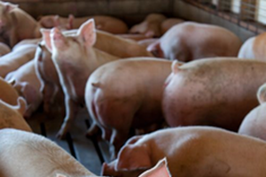 Annual Summary Report on antimicrobials sold for use in food-producing animals: key findings for swine producers