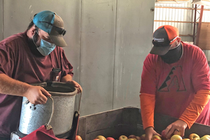 Farm workers sorting through apples