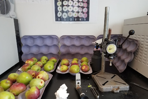 Testing apples for maturity and evaluating for bitter pit