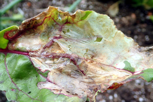 Spinach leafminer damage