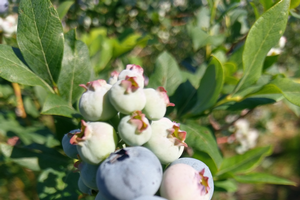 Ripening Bluecrop berries in Covert, MI.