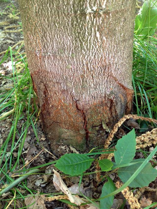 Photo 1. A chestnut blight canker at the base of European X Japanese hybrid cultivar 'Colossal' in a Michigan orchard. The canker symptom can appear anywhere on the tree, however cankers at the base of the trunk and in the crotches of the trees are common.