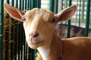 Is this the 4-H project for me? — Goats