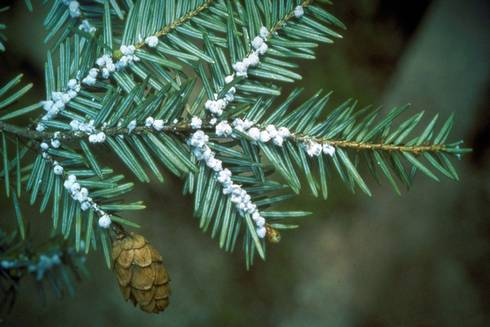 Adelges tsugae Annand Common Name: hemlock woolly adelgid. Photo courtesy of Connecticut Agricultural Experiment Station Archive, Connecticut Agricultural Experiment Station / © Bugwood.org