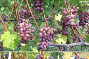 Cabernet franc grape clusters proceeding through veraison from Sept. 8, 2017 (top) through Sept. 18, 2017, (bottom) in the south Old Mission Peninsula region in northwest Lower Michigan. Photo by Thomas Todaro, MSU Extension.
