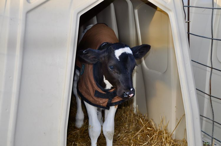 Calf jackets are a good way to protect calves from losing excess body heat.