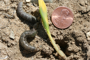 Black cutworms are here