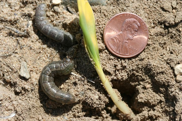 Black cutworm larvae collected under dead and dying chickweed.
