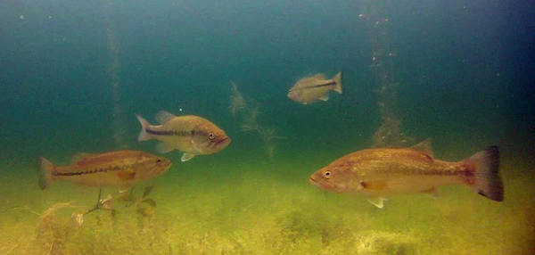 Asian carp eaten by bass, but some carp are more vulnerable than