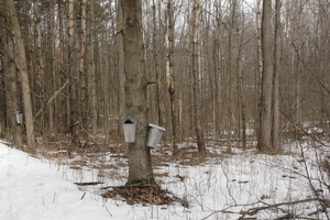 Celebrating the history of maple syrup