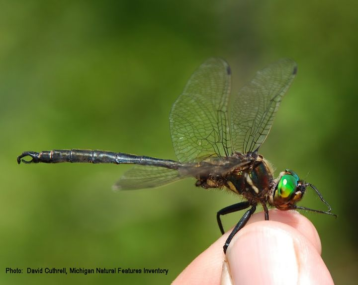 An adult Hine's Emerald Dragonfly is the focus of this coastal habitat conservation project in northeast Michigan. Photo credit: David Cuthrell, Michigan Natural Features Inventory