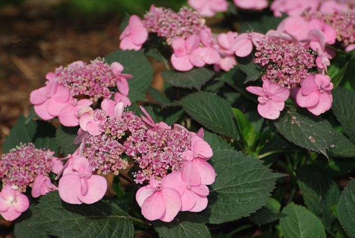 New, compact hydrangeas fit nicely in any landscape. Photo: Rebecca Finneran, MSU Extension.
