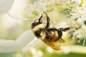 The rusty patched bumble bee is the first species of bumble bee to be put on the official endangered species list. It can be found in public gardens in the very short list of towns where it is still present. Photo by Clay Bolt.