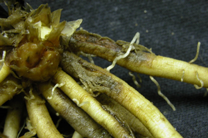Photo 1. Grayish, shriveled, water-soaked, infected storage roots of an asparagus crown infected with Phytophthora.