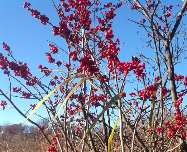 Winterberry with its bright red fruit. Photo: Bob Bricault, MSU Extension.
