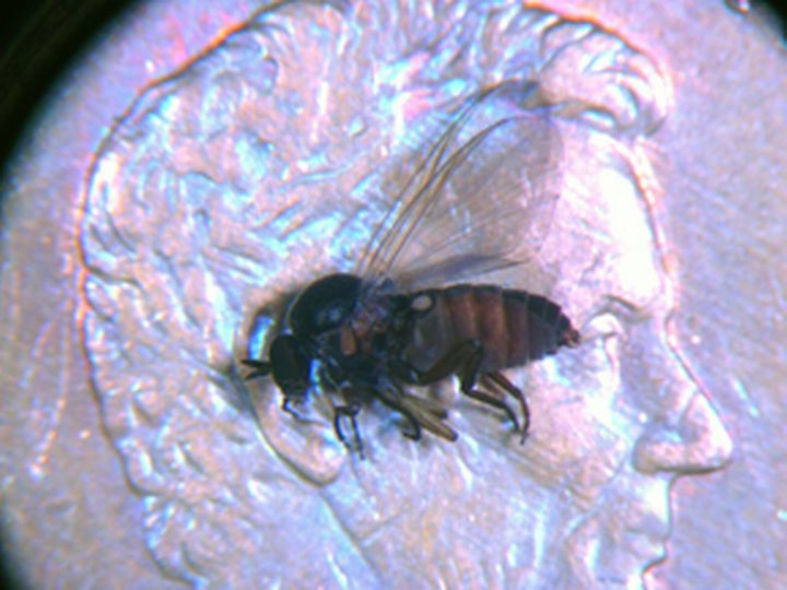 Note the humpedback appearance of a black fly. Image courtesy of Howard Russell, MSU.