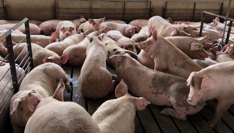 Multiple hogs.