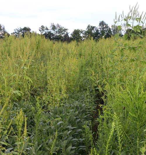 Marestail and ragweed in a field