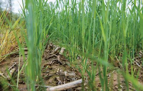 An MSU test plot in Mason shows the winter rye sprouting in a field of harvested corn.