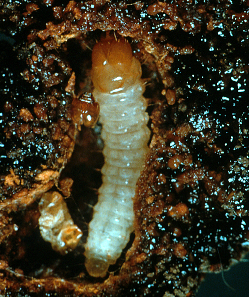 The white-to cream-colored larva is hairless with legs and a yellowish-brown to dark brown head.