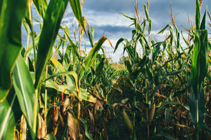 Farmers invited to submit corn silage samples for mycotoxin study
