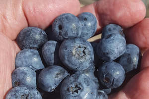Second picking Bluecrop berries. Growers will move to other varieties soon. Photo by Mark Longstroth, MSU Extension.