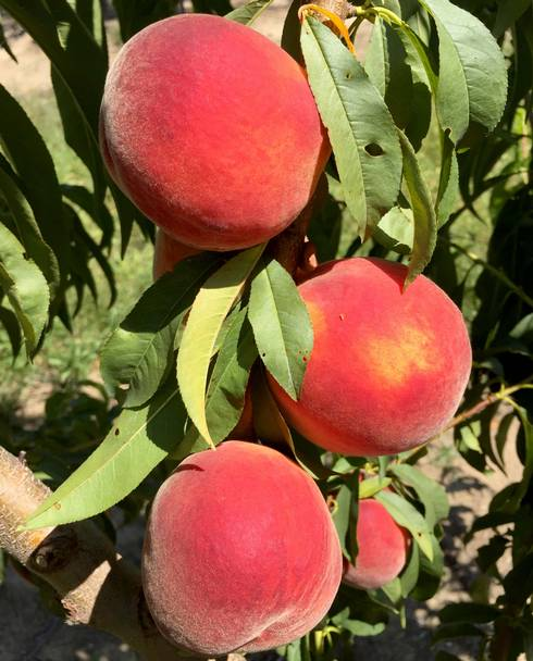 Peach harvest is in full swing with Red Haven and other varieties. Photo by Bill Shane, MSU Extension.