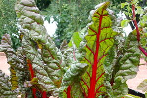 "Learn how to bring out the best in leafy greens, such as Swiss chard, at the upcoming ""Grow it, Cook it, Eat it!"" workshop in Lansing on Sept. 20. Photo: Rebecca Finneran, MSU Extension."