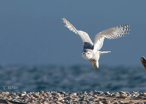 The Incredible Snowy Owl Has Shown Up This Winter In Large Numbers