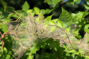 What are those large webs in my trees?