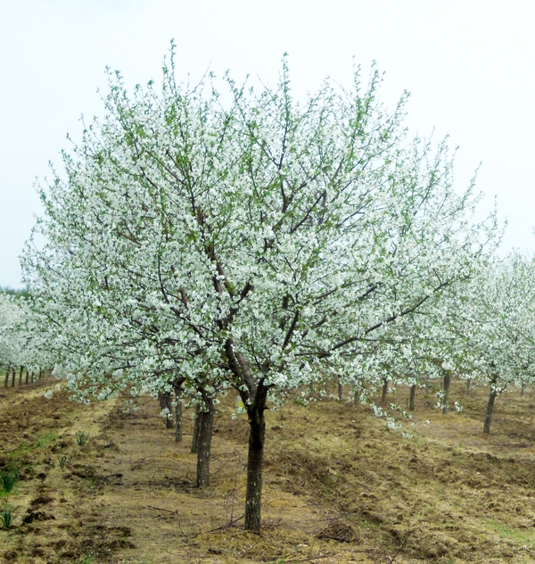 Montmorency cherries are in full bloom.