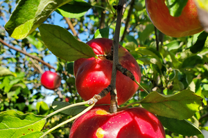 Southwest Michigan fruit update – Sept. 1, 2020