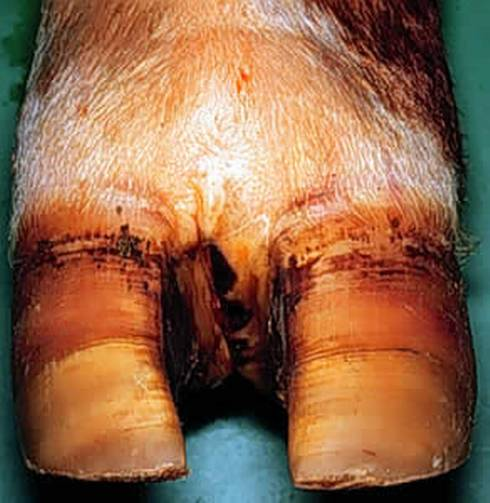 Footrot causes lameness and reddening of the interdigital tissue (between the hoof) and swelling of the foot, causing spreading of the toes. | Michigan State University Extension