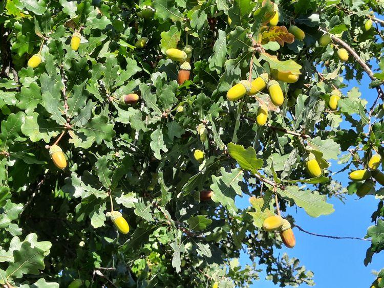 Acorns on trees.