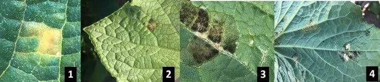 4 views of downy mildew symptoms on cucumber