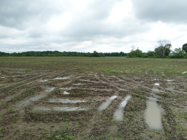 Saturated field in southwest Michigan on June 5, 2019