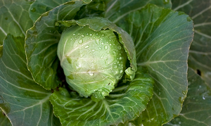 Now introducing cabbage: Star of recent Google searches