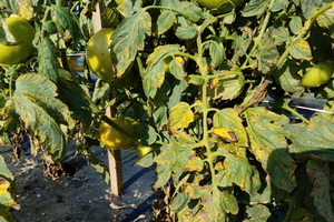 Tomato plants showing bacterial spot