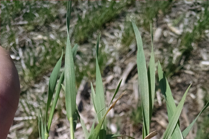 Wheat has initiated stem elongation as of May 6, 2015 in a field near Rogers City, Michigan. Photo credit: James DeDecker, MSU Extension
