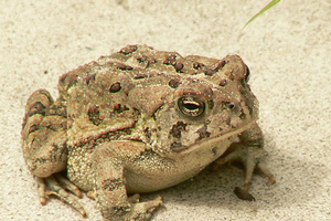 Data collected through the Michigan Frog and Toad Survey were instrumental in noting the decline in the Fowler's Toad and discussions to make it a protected species. Photo by Laura Perlick, U.S. Fish and Wildlife Service.