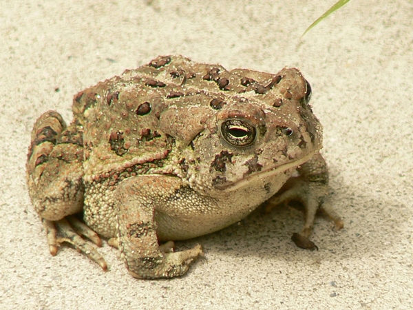 Army of volunteers put state's frogs in good hands - MSU