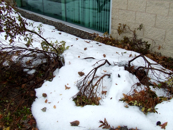 Smart Winter Protection For Trees And Shrubs Msu Extension
