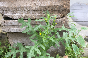How to identify and manage common groundsel in nurseries and greenhouses