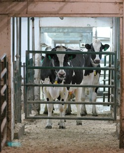 Cows at the MSU dairy farm