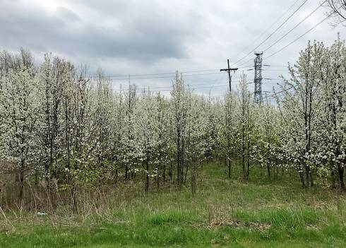 Volunteer callery pears in a field near an industrial park in Novi, Michigan. Image courtesy of Mary Wilson, MSU Extension.