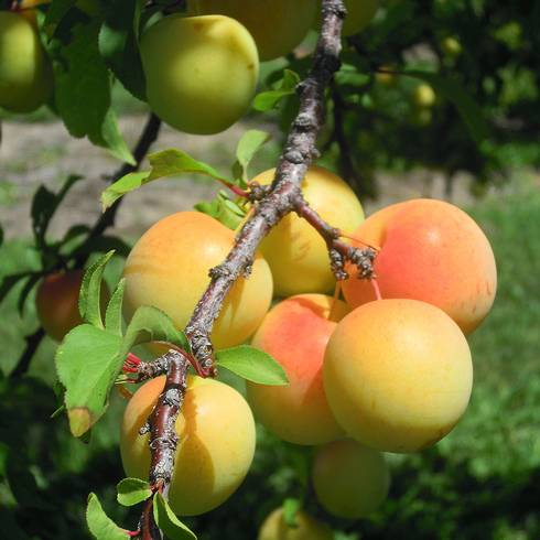 Early gold plum. Photo by Mark Longstroth, MSU Extension.