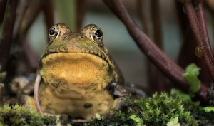 Frogs and toads' songs of spring