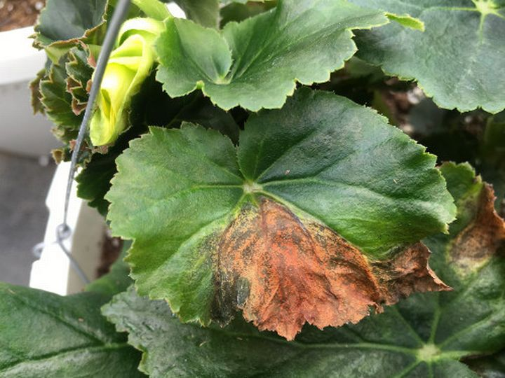 Essential Concepts For Managing Xanthomonas In Begonia Part 1