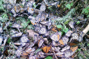 Why so few monarchs this season?
